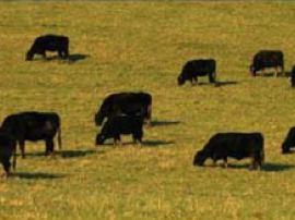 Cattle partake in some directional grazing.jpg